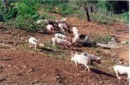 O suíno melhora a terra, adubando e removendo o solo, inserindo adubo em camadas mais profundas e restituindo, com as suas dejeções, elementos de valor para a sua fertilidade
