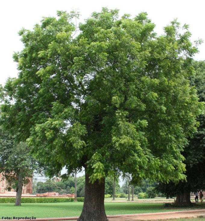 Nim benef cios exig ncias clim ticas tipo de solo for Tiglio albero