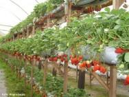 É constatado que no Brasil muitos produtores de frutos, entre eles o morango, produzem as mudas que usam