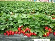 O excesso de folhas do morangueiro deve ser removido ao longo de todo o cultivo