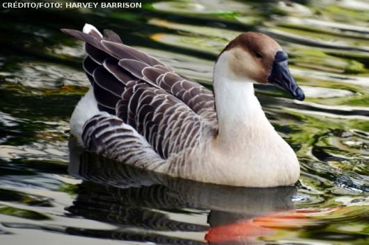 Criação de gansos: principais raças, reprodução, alimentação e instalações