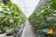 Produção de pepinos em estufa - transplante, condução, polinização e irrigação das mudas