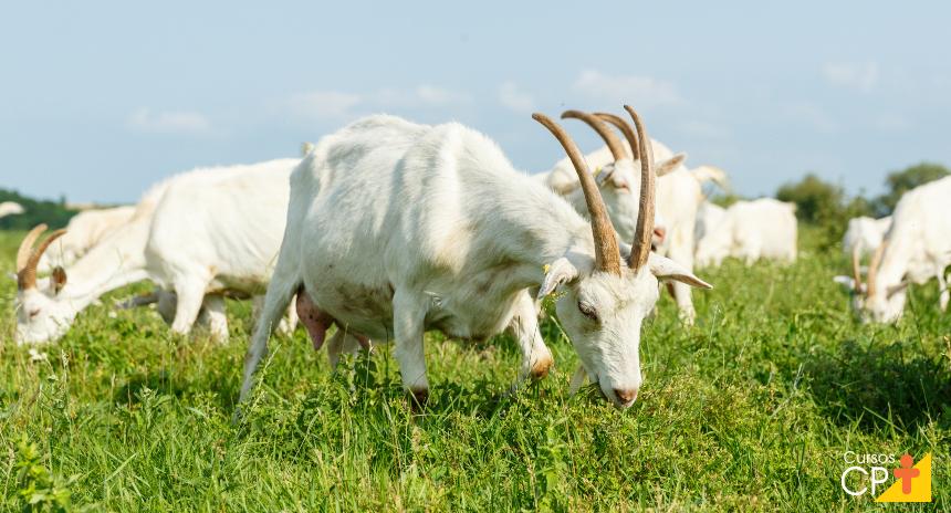 Cabras Saanen têm úbere desenvolvido, o que eleva a produção leiteira    CPT