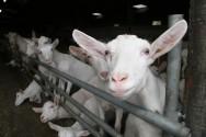 A linhagem Saanen tem contribuído para a formação e/ou  melhoramento de muitas outras raças caprinas leiteiras.