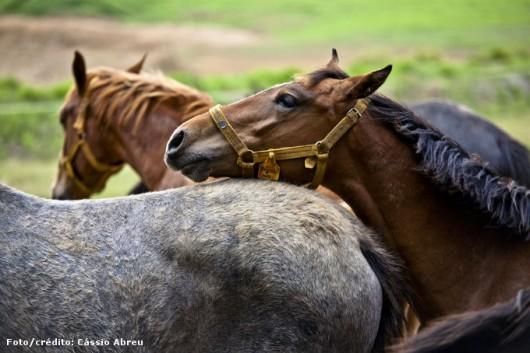 Reprodução de cavalos - como a detectar éguas no cio