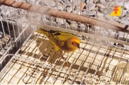 Canário da terra - como deve ser a alimentação em cativeiro