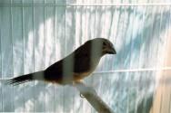 O curió é um pássaro granívoro.