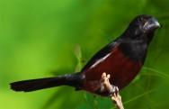 Conheça o Curió, o pássaro com canto corrido