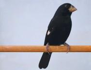 Conheça o bicudo, pássaro com canto flauteado e gutural