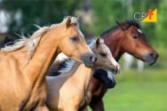Reprodução de cavalos - fotoperíodo controla a atividade ovariana das éguas