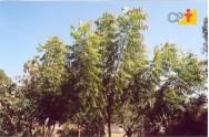 Nim - sistema de propagação das mudas, plantio e manejo da cultura