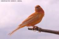 Há dois tipos de pigmentos lipocrômicos que podem ser depositados na plumagem dos canários de cor: o amarelo e o vermelho.