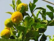 Limão Taiti - adubação, calagem, aplicação de micronutrientes, irrigação e análise foliar