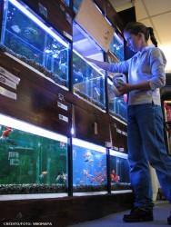 A ração para os peixes deverá ser fornecida diariamente, no mesmo horário, além de ser de boa qualidade e balanceada
