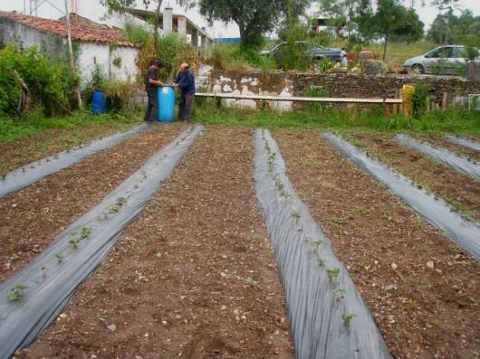Producao de Morango - replantio, colocação de filme plástico e furação do plástico entre plantas
