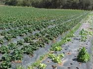 O replantio é a prática que ocorre normalmente após uma avaliação das perdas de plantio