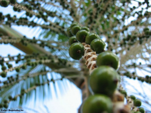 Açaí - variedades, forma de cultivo e produção das mudas do palmito