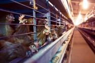As poedeiras da raça Leghorn branca dão origem aos ovos com casca branca, já as aves das raças Rhodes Island Red, New Hampshire e Leghorn vermelha originam ovos de casca marrom