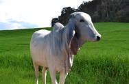 O indubrasil é um animal dócil, rústico e de dupla aptidão, ou seja, carne e leite. Foto: Reprodução