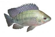 A preferida dos piscicultores é a Tilápia do Nilo, pois sua carne é tenra, saborosa, com baixas calorias e poucos espinhos.