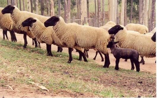Os ovinos são um dos ruminantes mais exigentes em qualidade de forragem