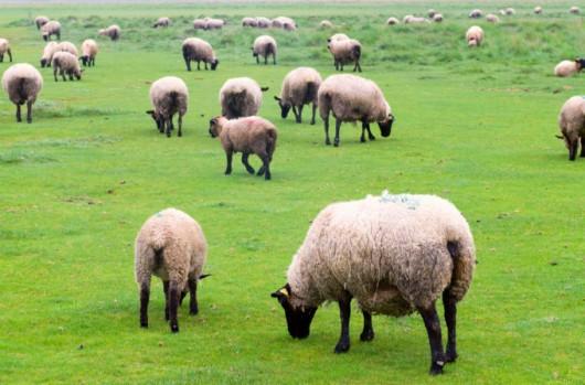 Melhoramento genético de ovinos: introdução de animais superiores e biotecnologia de produção
