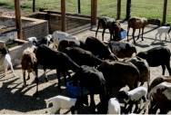 Tipos de alimentos volumosos e concentrados para ovinos