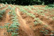 A mandioca é cultivada em todos os estados brasileiros e quando comparada a outros cultivos, apresenta uma série de vantagens