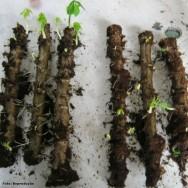 Após algumas semanas do plantio das estacas, as manivas já disponibilizam grande número de brotos