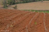 Os brotos devem ser plantados a uma profundidade que possibilite que quase toda a haste fique dentro do solo