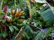 Existem várias variedades de bananas híbridas no Brasil. Foto/crédito: Key West Wedding