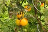 Plantação de tomate - doenças causadas por bactérias