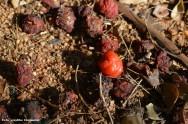 Ao retirar os frutos caídos no chão, ajuda-se muito no controle de pragas e doenças da aceroleira