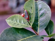 As pragas e doenças que atacam a aceroleira sempre trazem prejuízos ao produtor