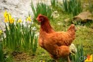 A galinha doméstica e suas principais raças comerciais