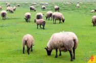 Fatores gerenciais que promovem o sucesso da ovinocultura de corte