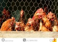 Você sabia que as galinhas podem apresentar piolhos e verrugas?