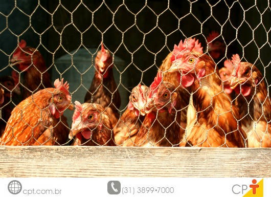 Você sabia que as galinhas podem apresentar piolhos e verrugas? Cursos CPT da área Avicultura