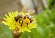 Para formar um grânulo, cada abelha coleta pólen de pelo menos 80 flores.