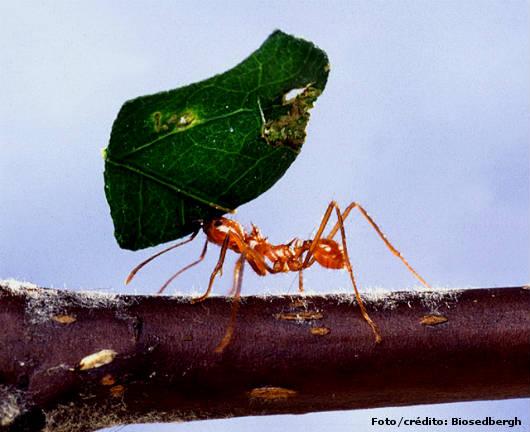 Resultado de imagem para Formigas Cortadeiras - importância do combate às saúvas e quenquéns cpt