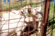 O porco pode ser explorado com pequeno capital inicial, requer pouca atenção e é altamente prolífero. Foto/crédito: Cameron Nordholm