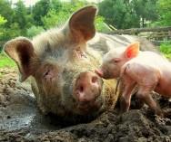 O porco é, dos animais domésticos, o que mais facilmente se adapta às variadas condições de clima. Foto/créditos: Ripperda