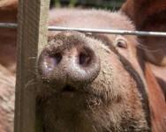 O porco produz maior rendimento de carne que qualquer outro animal. Foto/crédito: Tim Sackton