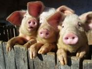Aprenda Fácil Editora: Suinocultura: o uso de dejetos como fertilizante orgânico