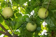 Mudas de maracujá: por sementes, em sacolas plásticas e em tubetes