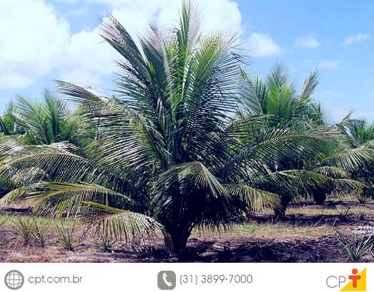 Dentre algumas vantagens da irrigação localizada do coqueiro anão, temos a economia de água, o baixo consumo de energia e o aumento da produção