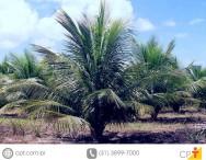 Coqueiro anão - 8 vantagens da irrigação localizada