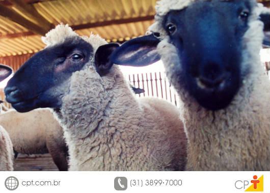 Devido à alta no preço da carne dos ovinos, especialmente cordeiros, alguns criadores passaram a investir no rebanho