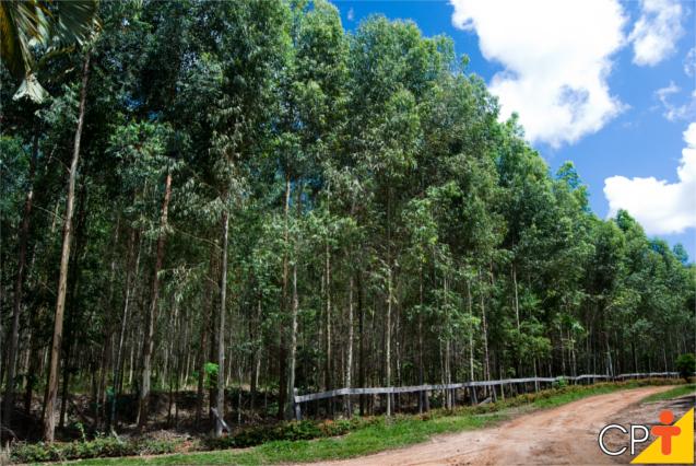 Plantação de eucalipto