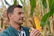 Produtor avaliando uma espiga de milho para a colheita